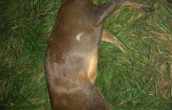 Muntjac Kill Wilthsire 27/10/19