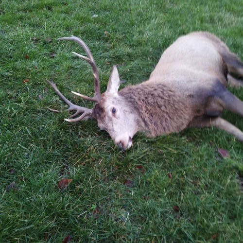 Red Stag from Stavely Cumbria